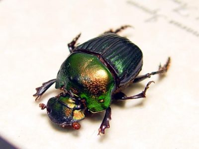 Phanaeus igneus Female Real Framed Rare Rainbow Scarab Beetle