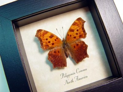 Polygonia comma Eastern Comma Real Framed North American Butterfly