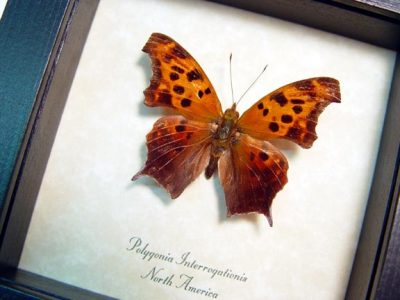 Polygonia interrogationis The question mark Real Framed North American Butterfly