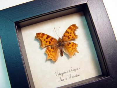Polygonia satyrus Satyr Comma Real Framed North American Butterfly