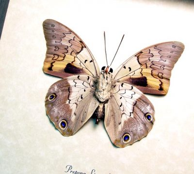 Prepona licomedes verso Rainforest Relector Real Framed Butterfly
