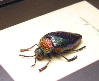 Sternocera pulchra fischeri Male Real Framed Metallic Rainbow Jewel Beetle