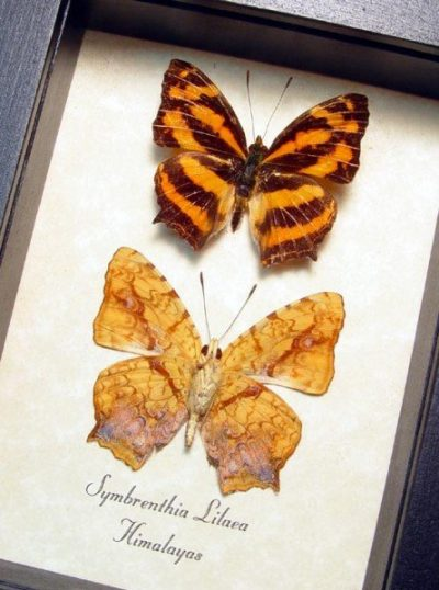 Symbrenthia lilaea Common Jester Himilayas Real Framed Butterflies