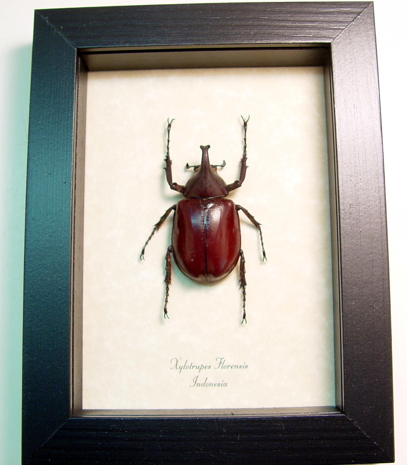 xylotrupes florensis wholesale insects butterfly designs real framed butterflies insects bat displays