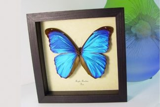 Blue Butterflies & Insects