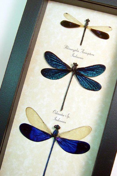 Damselfly Set of 3 Electric Blue Damselflies dragonflies Real Framed Insects