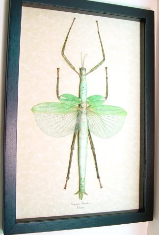 Larger Framed Specimens