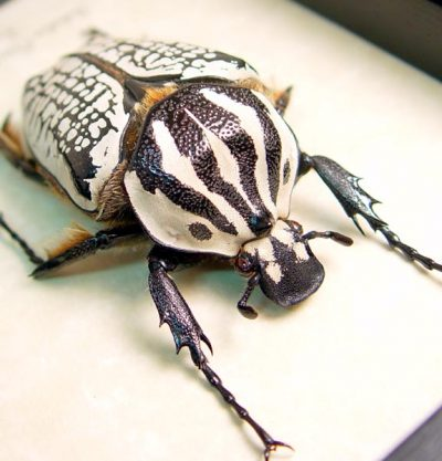 Goliathus orientalis 63mm Rare Large Female Scarab Beetle Tanzania African Insect Sug Retail $100