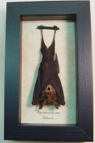 Medium Bat Hipposideros larvatus Horstfield's Leaf-nosed Bat Display Real Framed Bat