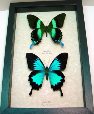 """8""""x 12"""" Insect Frames"""