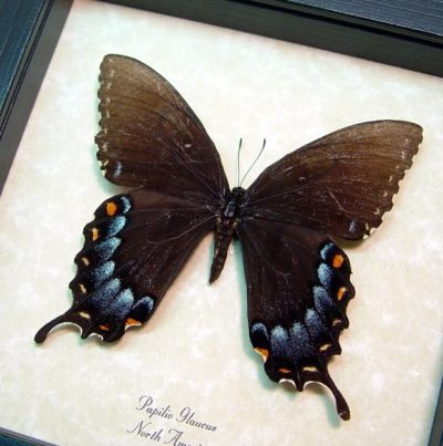 Papilio Glaucus Female Dark Form Real Framed Tiger Swallowtail Butterfly