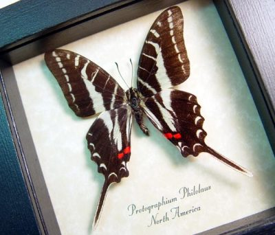 Protographium philolaus The Dark Zebra Swallowtail Real Framed North American Butterfly