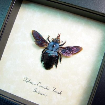 Xylocopa caerulea Bright Blue Carpenter Bee Real Framed Insect