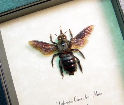 Xylocopa caerulea Male Carpenter Bee Real Framed Insect