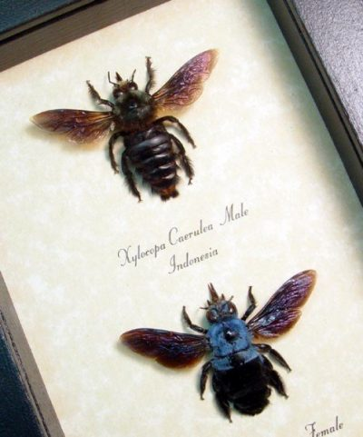Xylocopa caerulea Bright Blue Carpenter Bee Pair Real Framed Insect