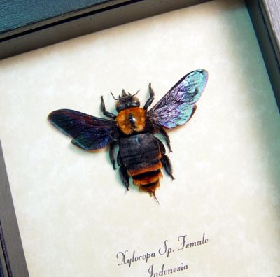 Bee - Xylocopa Sp Golden Carpenter Bee Female Real Framed Insect