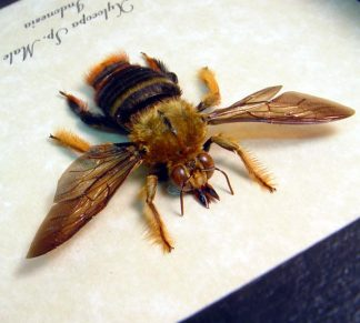 xylocopa-sp-male-4