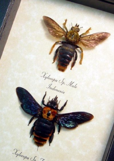 Bee - Xylocopa Sp Golden Carpenter Bee Pair Real Framed Insect