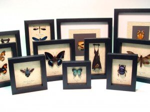 Real Framed Butterflies and Insects by Butterfly-Designs