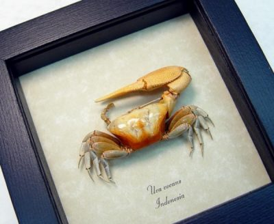 Crab - Uca vocans Fiddler Crab, Calling Crab, Real Framed Ocean Sea Life Nautical Scuba Diving Collectible Display