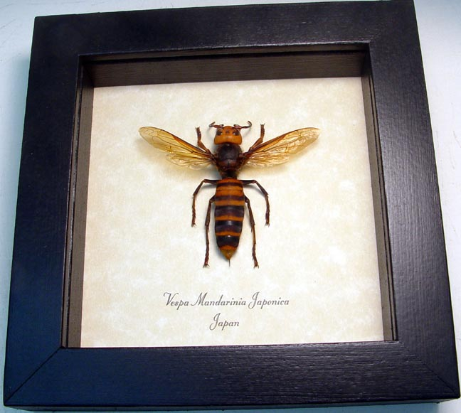 Wasps & Hornets