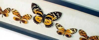 Tiger Mimic Butterfly Collection Heliconius