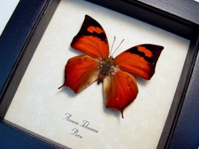 Anaea tehuana Real Framed Orange Peru Tailed Butterfly