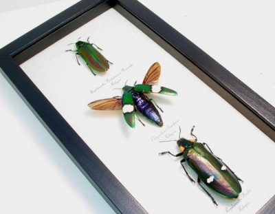 Giant Buprestidae Beetle Collection Metallic Wood Boring Beetles Real Framed Insects Red Green Purple Megaloxantha purpurascens Bicolor Chrysochroa Saundersii