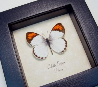 Colotis euippe Real Framed Round-winged Orange Tip African Butterfly