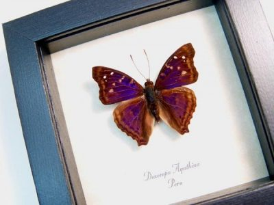Doxocopa agathina The Agathina Emperor Purple Real Framed Peru Butterfly