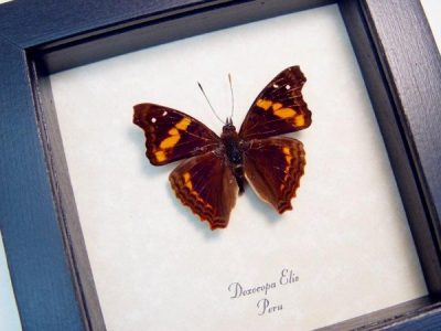 Doxocopa elis Orange Banded Real Framed Peru Butterfly