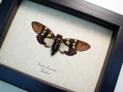 Gaeana laosensis Yellow Spot Cicada Real Framed Insect Display