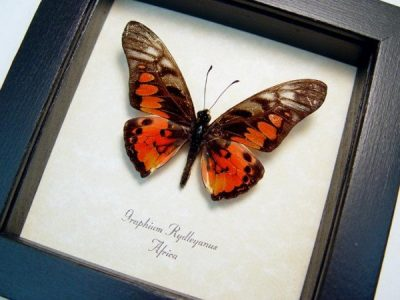 Graphium rydleyanus Red Orange African Butterfly