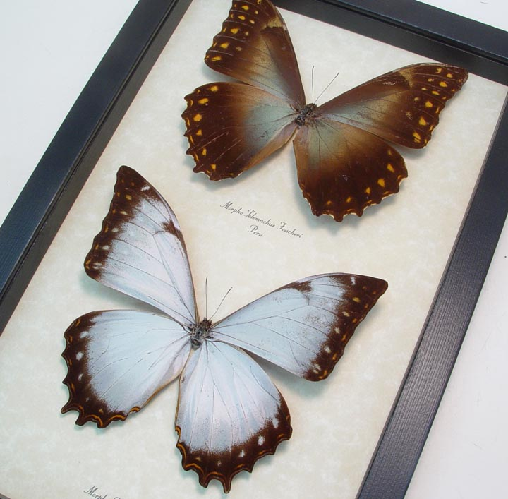 Morpho Theseus Juturna Morpho Telemachus foucheri Set Golden White ...