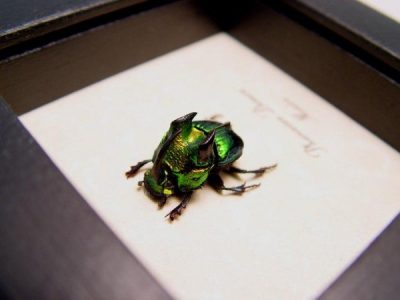Phanaeus demon Male Red Form Real Framed Rare Scarab Beetle