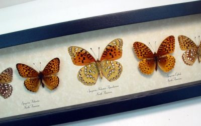 Speyeria Set Meadow Wanderers Butterfly Collection