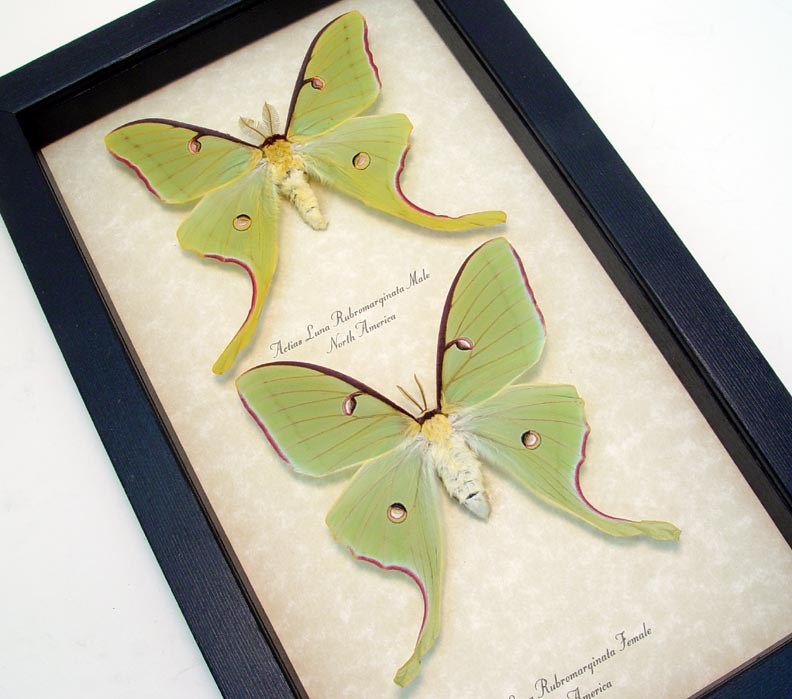 Actias Luna Rubromarginata Pair Spring Form Wholesale Insects Real Framed Butterflies Insects