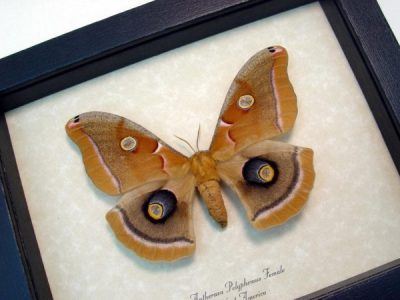 Antheraea polyphemus female Real Framed North American Silkmoth