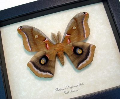 Antheraea polyphemus male Real Framed North American Silkmoth