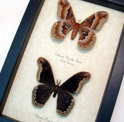 Callosamia promethea Pair Real Framed Silk Moth Sug Retail $140