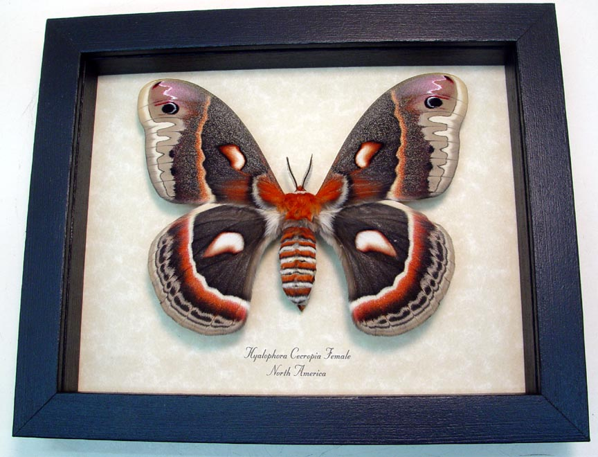 Real Silk Moth framed butterfly bug insect Antheraea species
