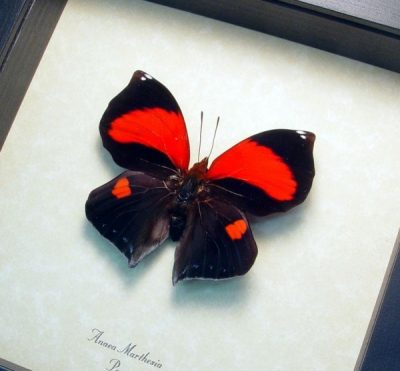Anaea marthesia Real Framed Large Red Heart Shaped Butterfly