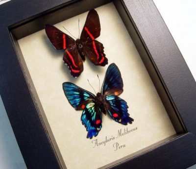 Ancyluris meliboeus Set Meliboeus Swordtail Metallic Blue Red Real Framed Butterflies