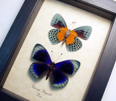Asterope Degandii Pair Orange Blue Spotted Real Framed Butterflies