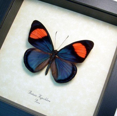 Real Framed Zaretis Isidora  Leaf Mimic Butterfly Pair 462P