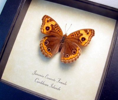 Junonia evarete Female Caribbean Buckeye Real Framed West Indies Islands Butterfly