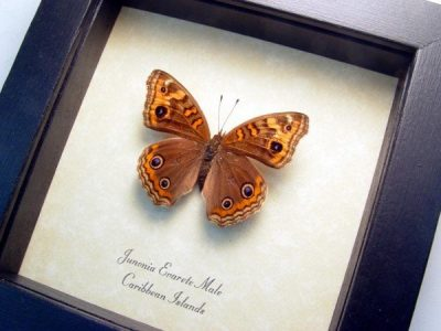 Junonia evarete male Caribbean Buckeye Real Framed West Indies Islands Butterfly