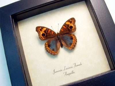 Junonia Lavinia Female Tropical Buckeye Real Framed Anguilla Caribbean Butterfly