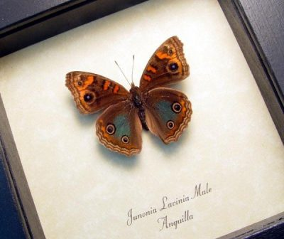 Junonia Lavinia male Tropical Buckeye Real Framed Anguilla Caribbean Butterfly