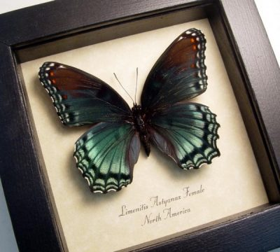 Limenitis Astyanax Female Red Spotted Purple North American Real Framed Butterfly